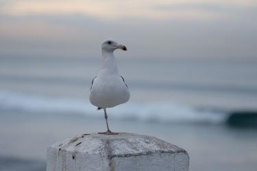 One-Legged Seagull at Oceanside Fishing Pier
