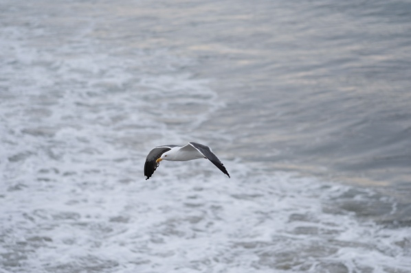 Flying Seagull at Oceanside Fishing Pier