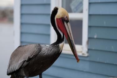 Pelican at Oceanside Fishing Pier
